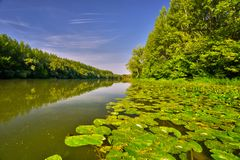 Maly Dunaj river with yellow water lilly. Picture of Maly Dunaj river taken from boat, with alluvial forest surrounding at summer. Poplar and alder trees at royalty free stock images