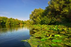 Maly Dunaj river with yellow water lilly. Picture of Maly Dunaj river taken from boat, with alluvial forest surrounding at summer. Poplar and alder trees at royalty free stock photo