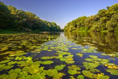 Maly Dunaj river with yellow water lilly. Picture of Maly Dunaj river taken from boat, with alluvial forest surrounding at summer. Poplar and alder trees at royalty free stock photos
