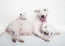 Mamá de bull terrier que coloca y que presenta con sus bebés Foto de archivo