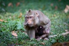 Mamá del mono Foto de archivo