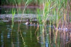mam? del pato con la nataci?n de los anadones en el lago en la formaci?n fotos de archivo