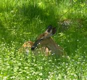 Mamá relajante Deer Foto de archivo
