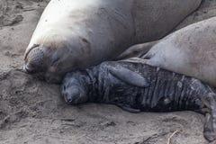 Mamá y bebé del sello de elefante fotografía de archivo