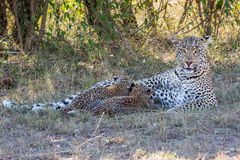Mamá y lactancia Cubs del leopardo foto de archivo libre de regalías