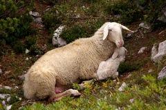 Mam? y ni?o de las ovejas fotografía de archivo libre de regalías
