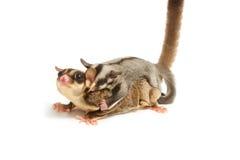 a mamã do Açúcar-planador e pouco joey aderem-se para trás Fotografia de Stock