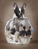 Mamã do buldogue francês com os cachorrinhos na cesta Fotografia de Stock
