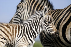 Mamã e bebê da zebra Fotos de Stock Royalty Free