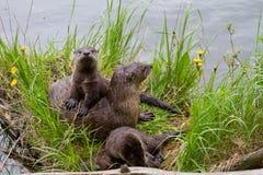 Mamã e filhotes de cachorro da lontra de rio fotografia de stock