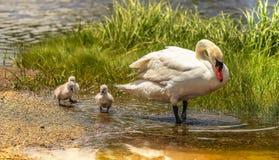 Mamã e os três cisnes novos imagens de stock royalty free