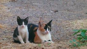 Mamã-gato da chita e seu gatinho preto e branco vídeos de arquivo