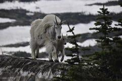 Mamãe e bebê da cabra de montanha Fotografia de Stock