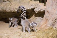 Mamífero animal engraçado Madagáscar do lêmure fotografia de stock