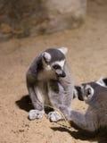 Mamífero animal engraçado Madagáscar do lêmure fotografia de stock royalty free