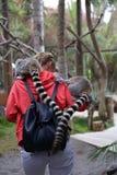 Mamífero animal engraçado pequeno África do lêmure com povos Imagem de Stock Royalty Free