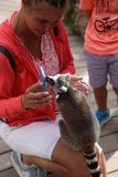 Mamífero animal engraçado pequeno África do lêmure com povos Foto de Stock