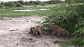 Mamífero del animal salvaje de la sabana de Kenia África de la hiena almacen de video