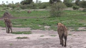 Mamífero del animal salvaje de la sabana de Kenia África de la hiena almacen de metraje de vídeo