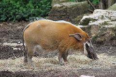 Mamífero desconocido en el santo Louis Zoo Imagen de archivo