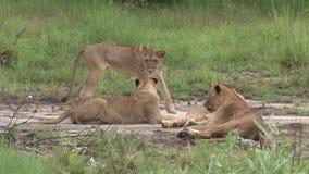 Mamífero peligroso salvaje África Kenia del león almacen de video
