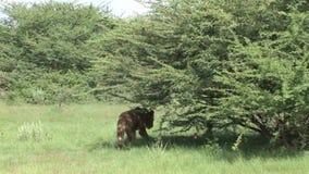 Mamífero peligroso salvaje África Kenia del león almacen de metraje de vídeo