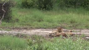 Mamífero peligroso salvaje África Kenia del león metrajes