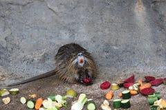Mamífero que come vegetais Fotografia de Stock Royalty Free