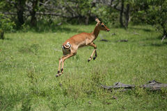 Mamífero salvaje del antílope en la sabana de Botswana del africano fotos de archivo libres de regalías