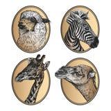 Mamíferos africanos zebra, girafa, lama, close-up principal do camelo Retratos dos animais no grupo do quadro ilustração do vetor