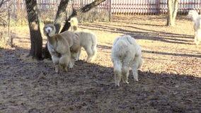 Mamíferos-camelids - alpaca almacen de metraje de vídeo