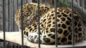 Mamíferos-Lejos del este (Amur), leopardo almacen de video