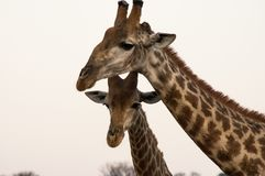 Mam жирафа и ее младенец Стоковые Фото