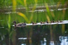 mam? del pato con la nataci?n de los anadones en el lago en la formaci?n fotografía de archivo libre de regalías