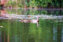 mam? del pato con la nataci?n de los anadones en el lago en la formaci?n imagen de archivo libre de regalías
