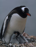 Mam del pingüino con dos polluelos Fotografía de archivo