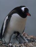 Mam do pinguim com dois pintainhos Fotografia de Stock