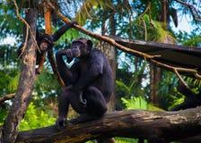 Mama-Affe - der Denker Lizenzfreies Stockbild