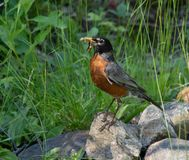 Mama american robin fetching dinner. Robin on her way to a full nest with her worm on a spring day in Haliburton ontario stock photo