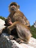 Mama ape Stock Image