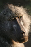 Mama Baboon Royalty Free Stock Photography