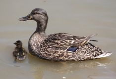 Mama and Baby Duck. Here is a really cute baby duck taking a swim with its mama Royalty Free Stock Image