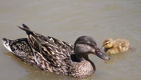 Mama and Baby Duck. Here is a really cute baby duck taking a swim with its mama Royalty Free Stock Photography