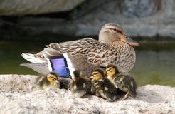 Mama and Baby Ducks. Mother mallard duck keeps her baby ducks close stock photos