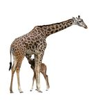 Mama and baby giraffe Stock Images