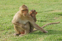 Mama and Baby Monkey. A baby monkey with mother at a temple in Thailand Stock Image