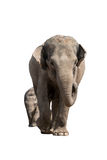 Mama and baby. Mother and baby elephant isolated on white. Clipping path included Royalty Free Stock Photography