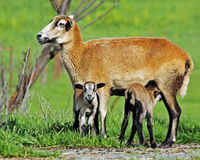 Mama Barbadoes Sheep with twin lambs. The colorful photograph is of a mother Barbados sheep with her newborn twin lambs.  One of the lambs is nursing on the Stock Photography