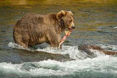 Mama-bear with catched salmon fro her babies, Alaska. N bears, salmon hunting in Katmai national park, Alaska, bear watching place in Alaska, Alaskan adventure stock photography
