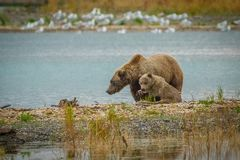 Mama-bear with her cub fishing in Brooks river in Katmai NP, Alaska. Mama-bear with her cub fishing in Brooks river in Katmai NP in Alaska, learning to hunt royalty free stock photo